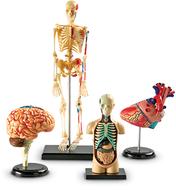 Model anatomy bundle set of 132
