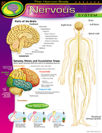 Chart nervous system